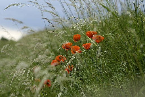 Flowers, Klatschmohn, Edge Of Field, Poppy