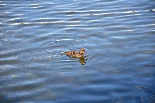 Duck, Little Duckling, Water, Waterfowl, Kid, Gray Duck