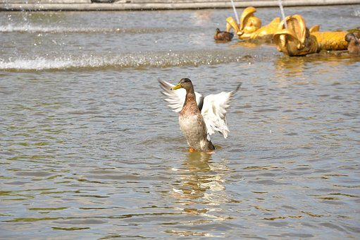 Duck, Fountain, Water, Pond, Feathered Race, Wings