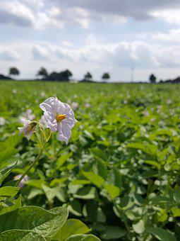 Field, Potato, Blossom, Bloom, Arable, Agriculture
