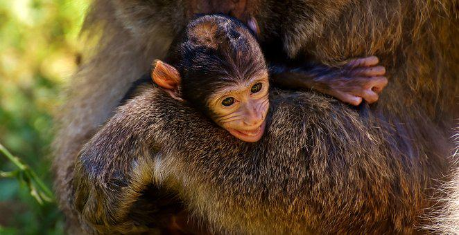Ape, Baby Monkey, Curious, Barbary Ape