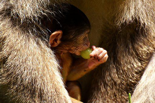Ape, Baby Monkey, Grapes, Curious, Barbary Ape