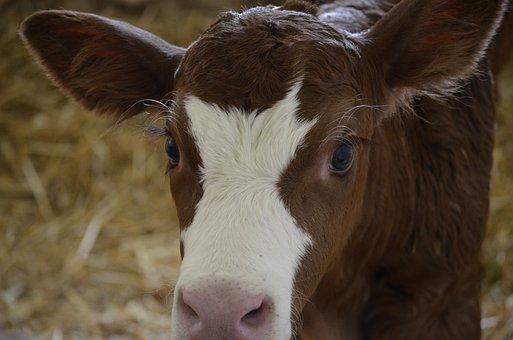 Calf, Baby, Cow, Animals