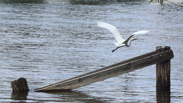 Birds, Great White Egret, In Flight, Lake, Bar, Nature