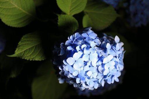 Hydrangea, Flowers, Park