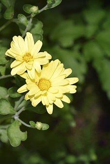 Flower, Yellow, Chrysanthemum, Mums, Yellow Flowers