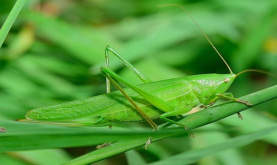 Insect, Grasshopper, Antenna, Nature, Lobster, Macro