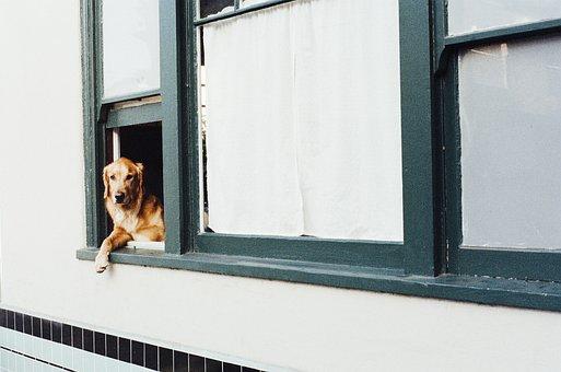 Dog, Animal, Golden Retriever, Window