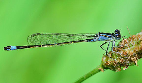 Dragonfly, Insect, Flying Insects, Wings, Libelulido