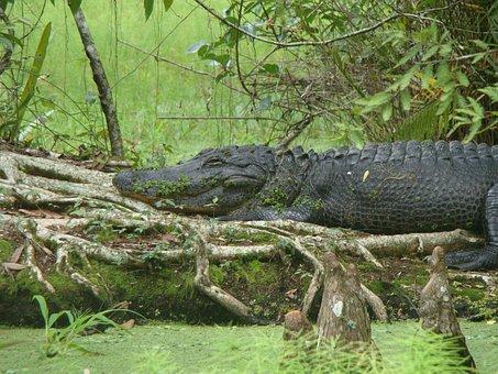 Nature, Aligator, Animal, Wildlife, Amphibian, Water