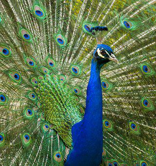 Peacock, Bird, Pride, Feather, Animal, Nature, Plumage