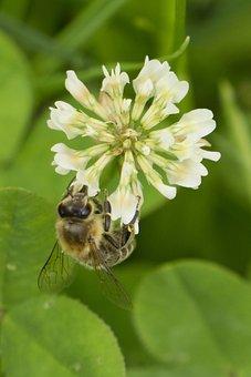 Bee, Clover Flower, Klee, Bee On Clover Flower