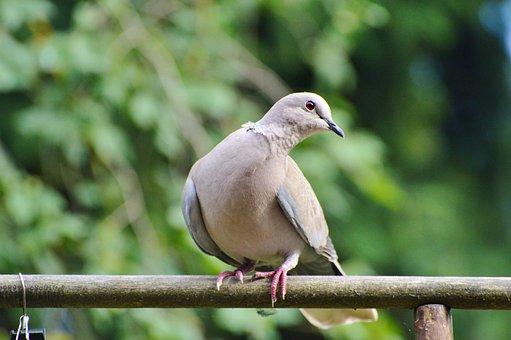 Dove, Bird, Street Deaf, City Pigeon, Animal, Feather