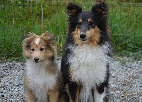 Dogs, Shetland Sheepdog, Couple, Dog, Bitch, Tricolor