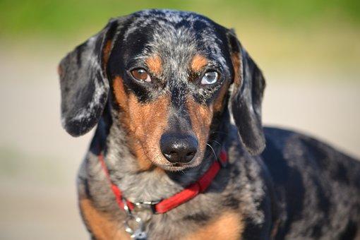 Dog, Dachshund, Canine, Animal, Domestic, Black, Brown