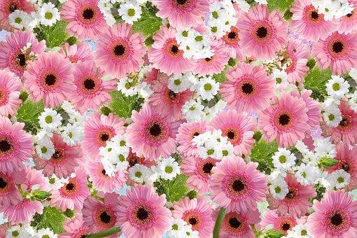 Gerbera, Cut Flowers, Blossom, Bloom, Flower, Pink