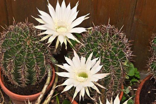 Queen Of The Night, Cactus, Cactus Flower