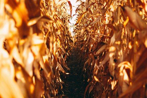 Corn Field, Nature, Field, Corn, Agriculture, Summer