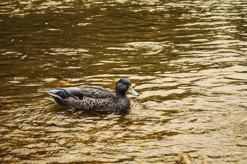 Duck, Water, Background, Swimming, Bird