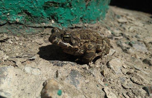 Toad, Frog, Animals, Tsarevna, Croak, Excavation