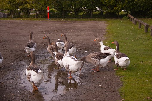 Geese, Pond, Farm, Animals, Birds, Facilities, Denmark