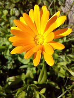 Calendula, Flower, Marigold, Yellow, Flower Bed