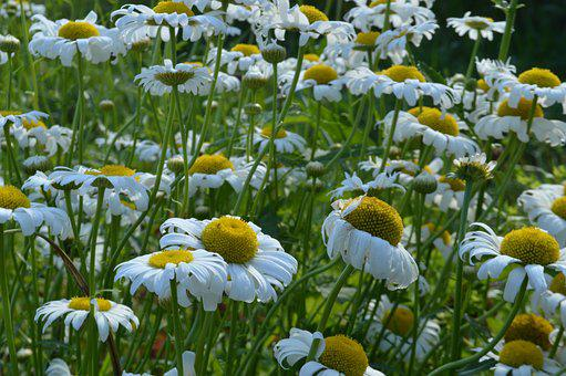 Summer, Chamomile, Glade, Greens, June, White, Flower