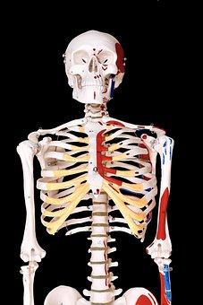 Skeleton, Human, Model, Physio, Anatomy