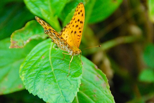 Butterfly, Bug, Leaf, Insect, Nature, Animal, Wing