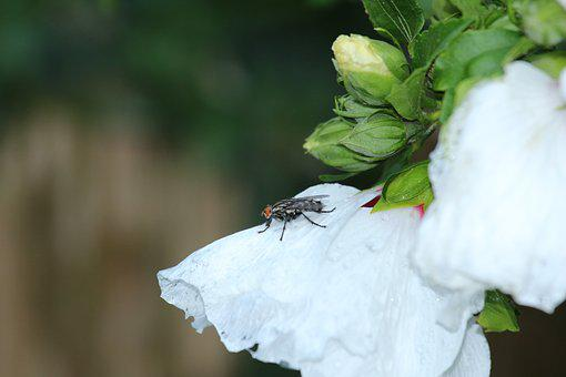 Fly, Macro, Animal, Insect, White, Flower, Housefly
