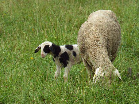 Sheep With Lamb, Young Animal, Lamb, Sheep, Pasture
