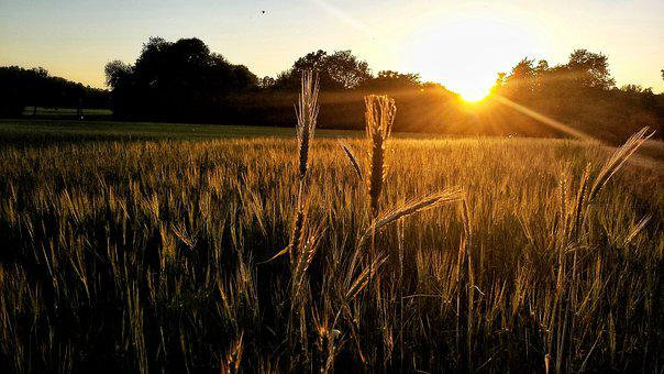 Sunset, Cornfield, Landscape, Lighting, Abendstimmung