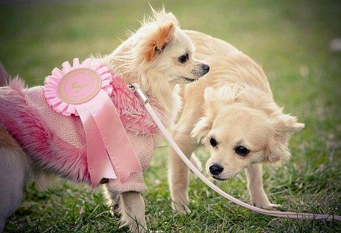 Dog, Chihuahua, Canine, Little Dog, Cute, Pet, Animal