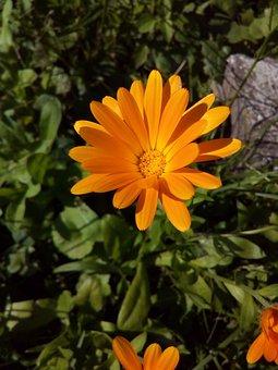 Calendula, Marigold, Medicinal Plants, Closeup