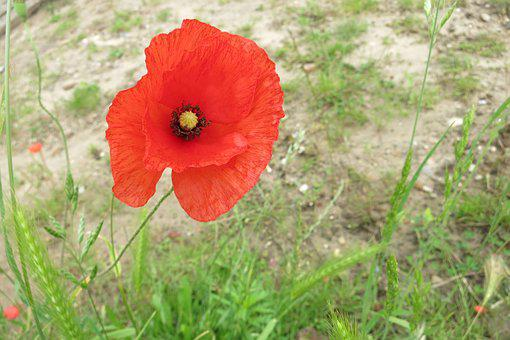 Poppy, Field Flowers, Nature, Flower, Red, Red Flower
