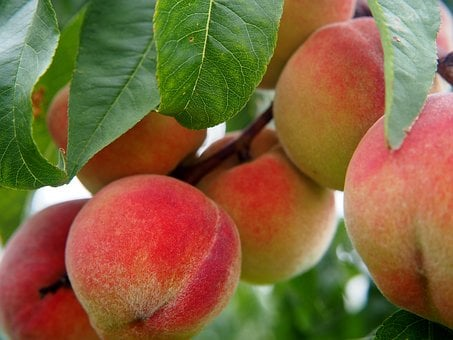 Peach, Peaches, Fruit, Fruits, Peach Tree, Bio, Tree