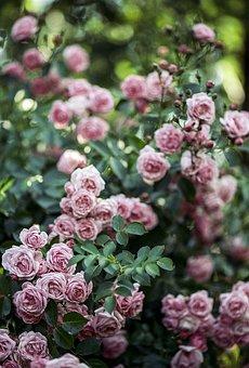Rose, Pink, Green, Blur, Flower, Nature, Petal, Romance