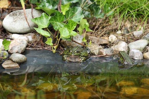 Frog, Pond, Water, Frog Pond, Wet, Nature, Toad
