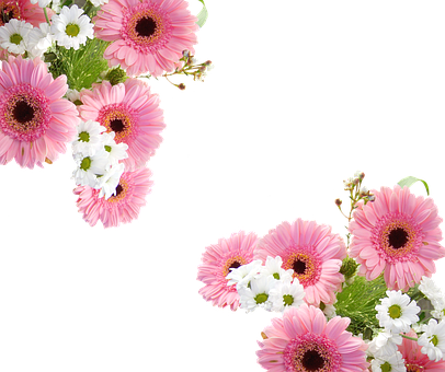 Gerbera, Schnittblume, Pink, Blossom, Bloom, Plant