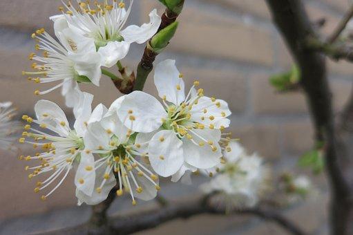 Pruimbloesem, Blossom, White, Spring, Blossom Buds