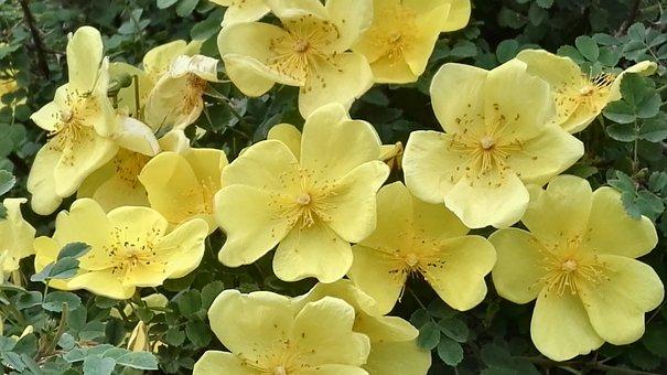 Wild Rose, Cute Rose, Yellow Briar
