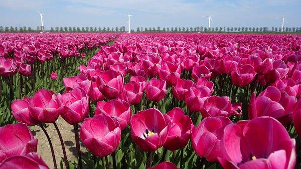 Tulips, Tulip, Bulb, Bulbs, Bloom, Plant, Tulip Fields