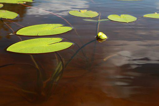 Yellow Water-lily, Ulpukan Bud, Lake, Clear Water