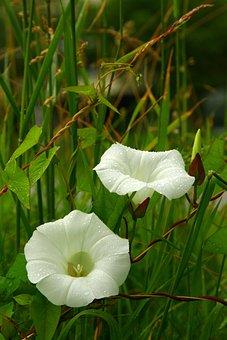 Clematis, Rain Droplets, White Flower, Wild Flower