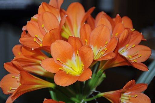 Clievie, Flower, Plant, Blossom, Bloom