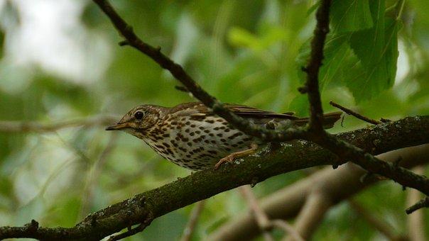 Drozd, Bird, Branches