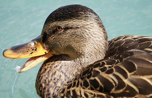 Duck, Schwimmvogel, Water Bird, Plumage, Water, Bird