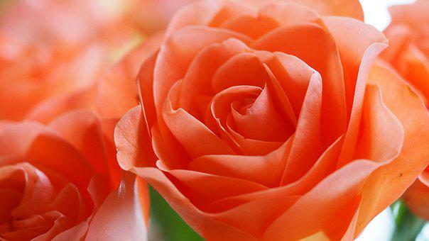 Rose, Flower, Orange, Peach-colored, Petal