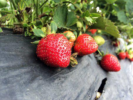 Strawberry, Farm, Fresh, Ground, Ripe, Unripe, Group