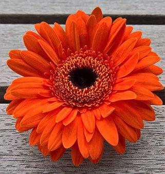 Flower, Gerbera, Single Bloom, Orange, Red